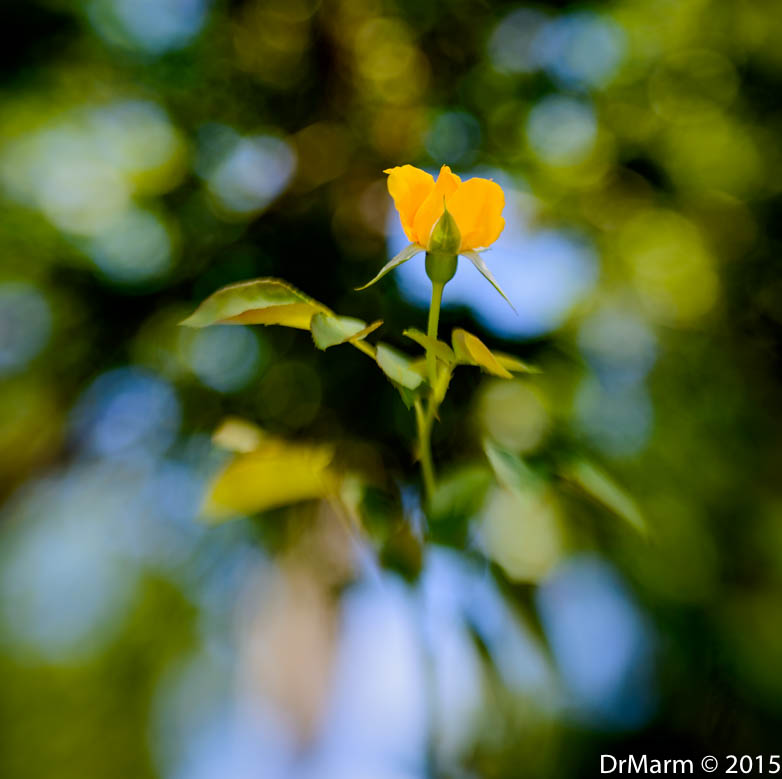 Rose in Bokeh