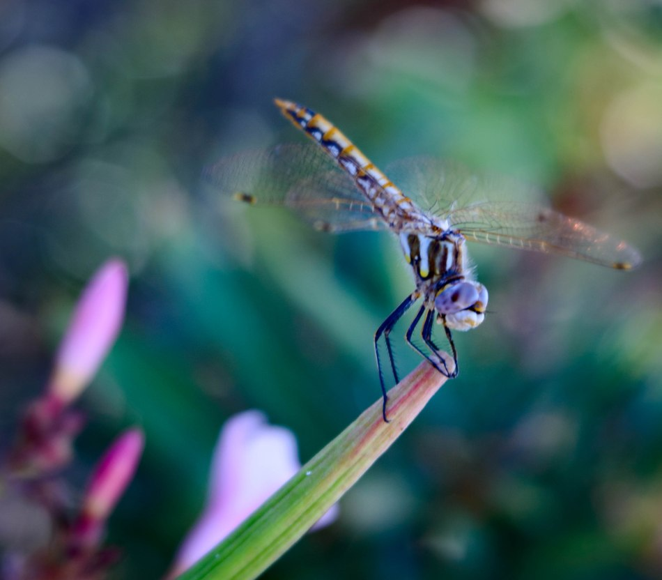 Dragon Fly Hovering