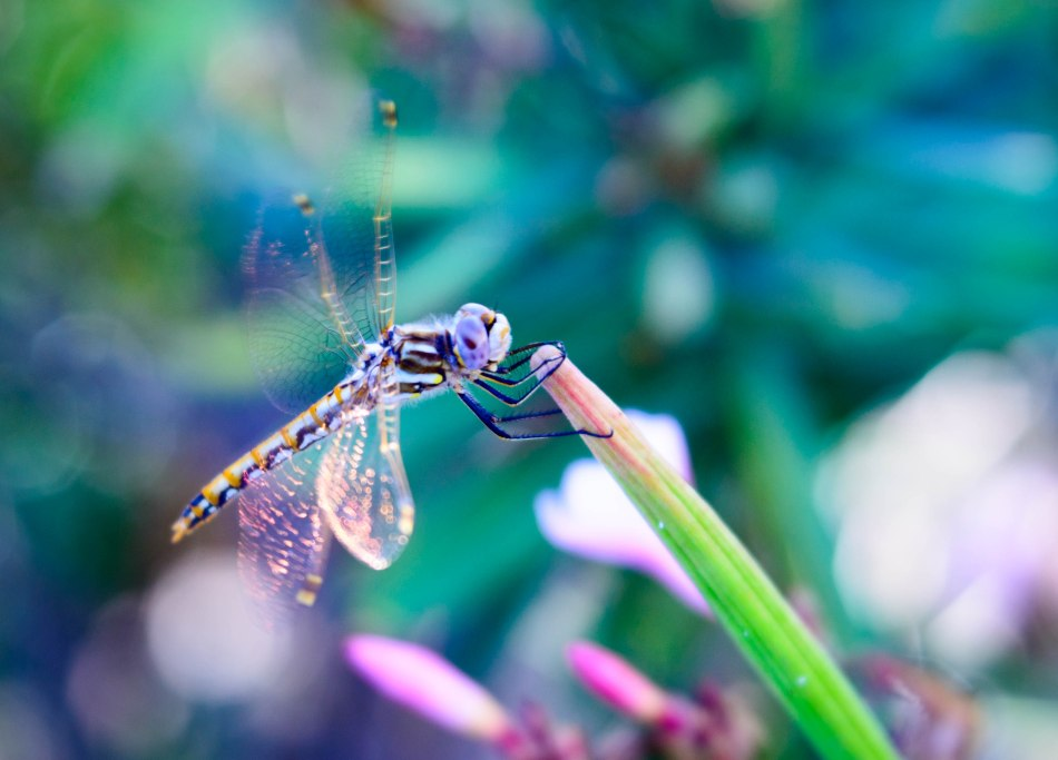 Dragon Fly Iridescent Wings