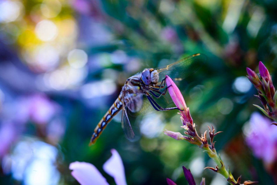 Dragon Fly Pink